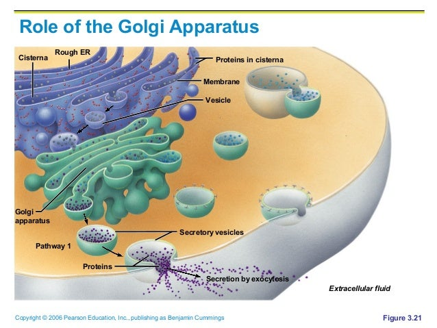 importance of golgi apparatus