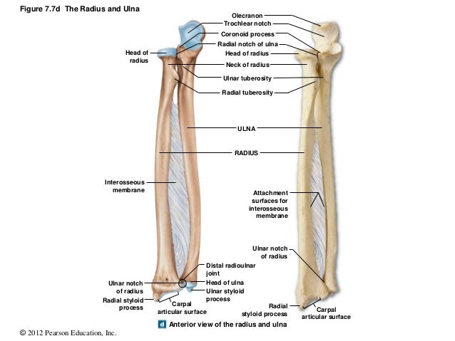 Free coloring pages of ulna and radius bone