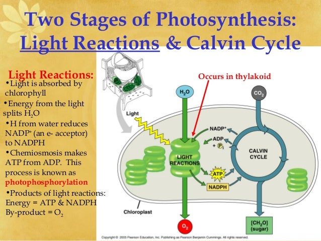 photosythesis articles