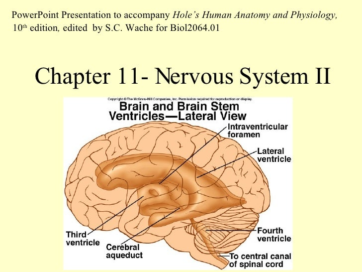 Chapter 11- Nervous System II PowerPoint Presentation to accompany  Hole's Human Anatomy and Physiology,  10 th  edition ,...