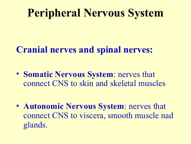 Peripheral Nervous System Cranial nerves and spinal nerves: • Somatic Nervous System: nerves that connect CNS to skin and ...