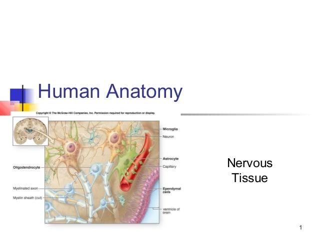 1 Human Anatomy Nervous Tissue