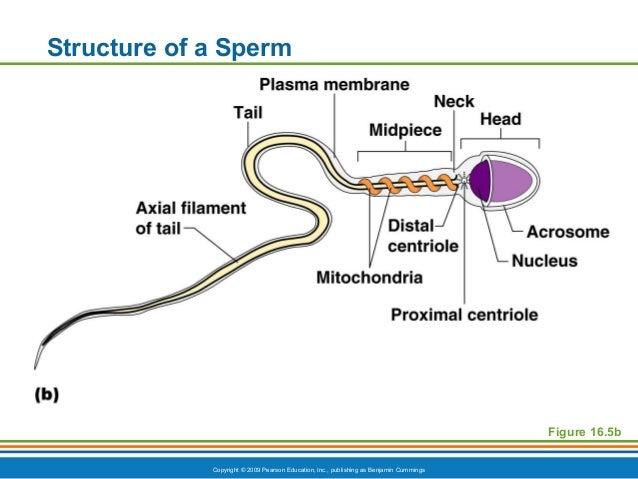 characteristics sperm cell