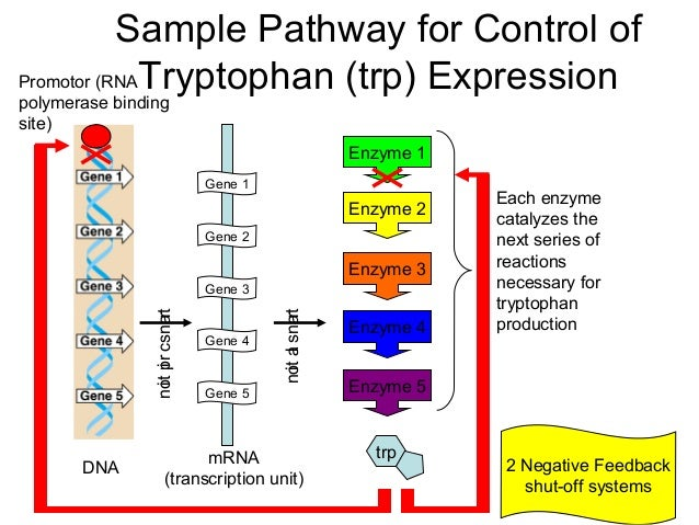 Sample Pathway for Control of Promotor (RNA Tryptophan (trp) Expression polymerase binding site)  Enzyme 1 Gene 1  Enzyme ...