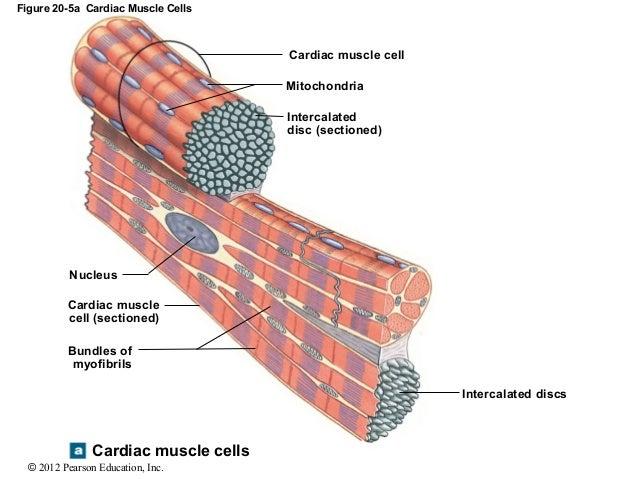 Jackie\'s 2015 A&P: Cardiac Muscle Cells