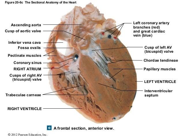 pectinate muscles sheep heart