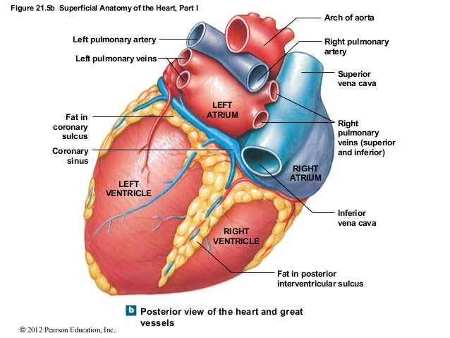 Heart diagram dorsal view basic guide wiring diagram diagrams flashcards quizlet rh quizlet com human heart diagram anatomical heart diagram ccuart Image collections