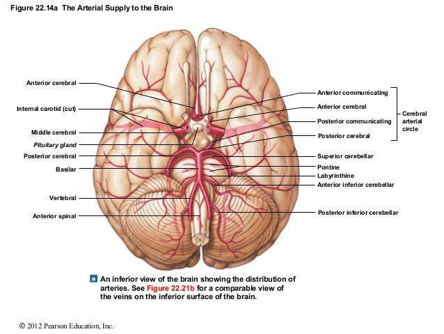 Brain inferior view human brain inferior view ccuart Image collections