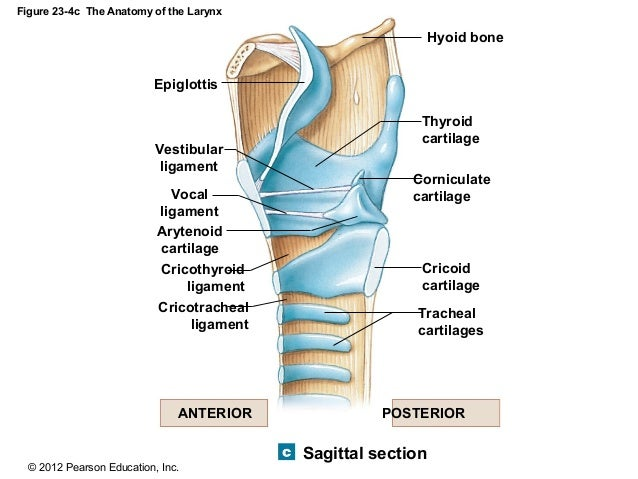 Corniculate Cartilage Function Cartilage Corniculate