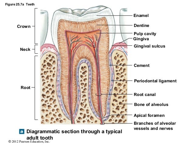 Root Diagrammatic Section