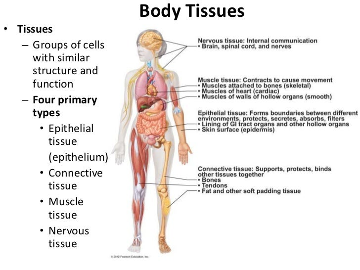 Body Tissues• Tissues   – Groups of cells     with similar     structure and     function   – Four primary     types      ...