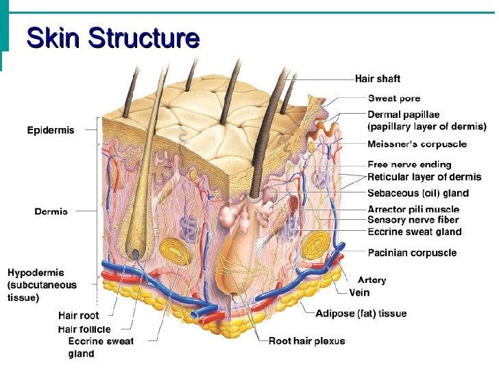 Image result for dermis structures