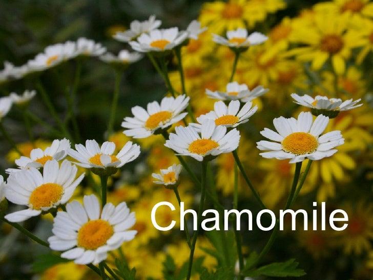 Chamomile Botany