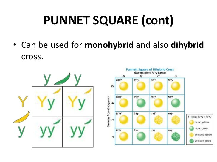 independent assortment punnett square - photo #15