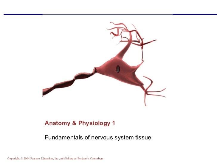Anatomy & Physiology 1 <ul><li>Fundamentals of nervous system tissue </li></ul>