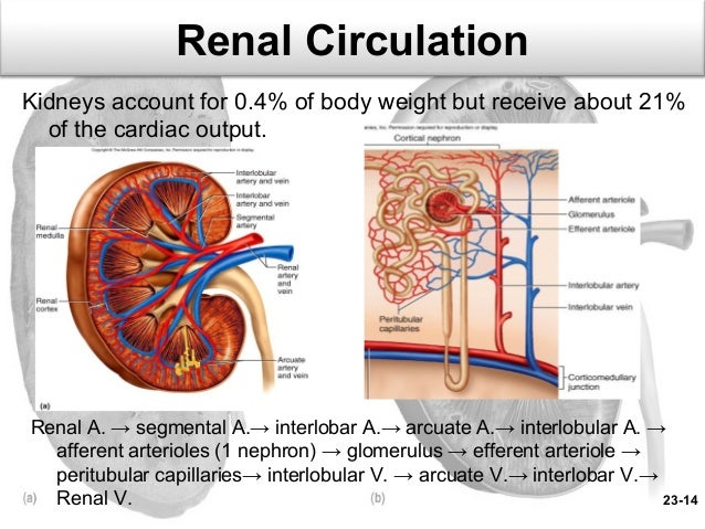 What is the difference between the coronary circulation and renal imageidesharecdn ccuart Image collections