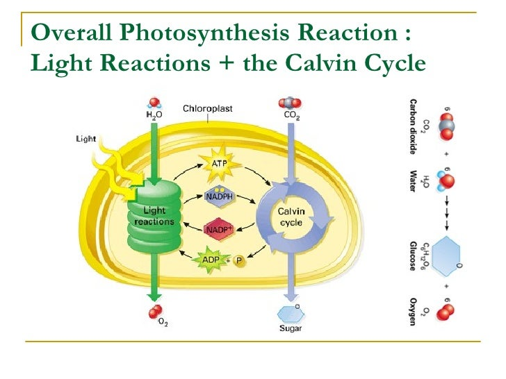 photosynthesis cycle diagram Division of matter diagram of the sense of touch diagram of photosynthesis oxygen cycle diagram.