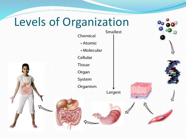Levels Of Organization By Mandalyn Schmidt On Prezi