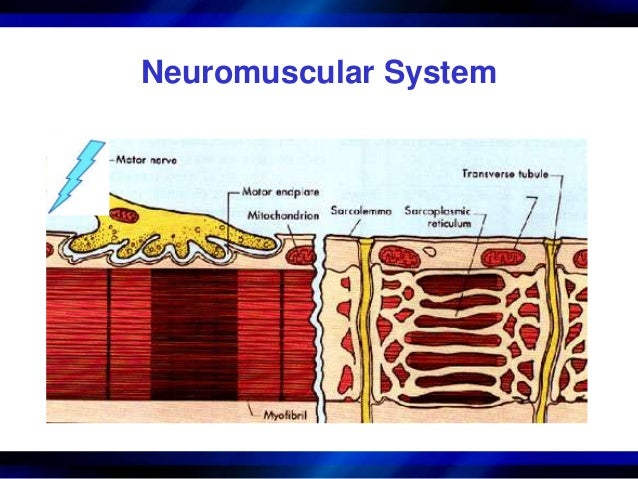 the neuromuscular system Neuromuscular disorders affect the nerves that control your voluntary muscles voluntary muscles are the ones you can control, like in your arms and legs your nerve cells, also called neurons, send the messages that control these muscles.