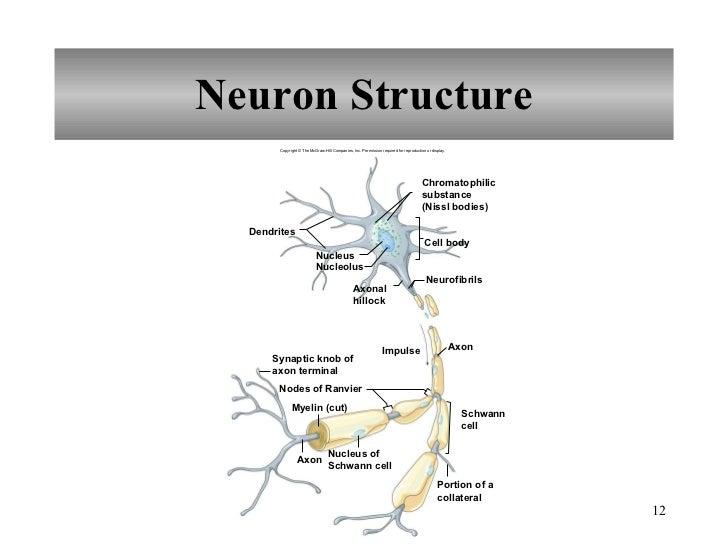 Chapter 10 Nervous System I
