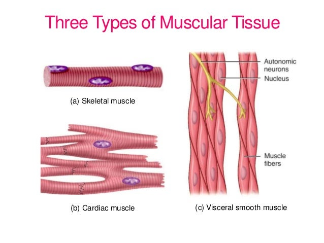 Three Types of Muscle Tissue Muscle Three Types of