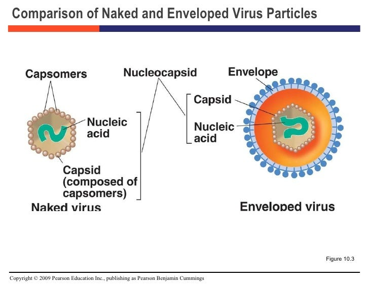 Structure of naked viruses.