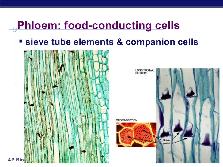 Complex Tissues: Xylem and Phloem (With Diagram)