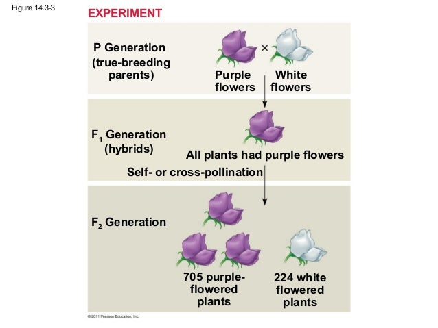 cross pollination of a parental generation Part of the parental generation p or p 1 the offspring of the p generation are from biol 003 at louisiana state university  self- and cross-pollination of pea plants.