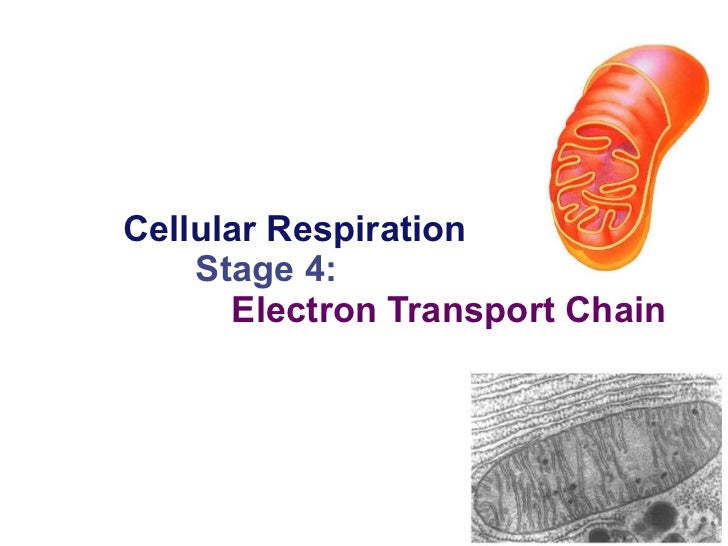Cellular Respiration Stage 4:   Electron Transport Chain 2006-2007