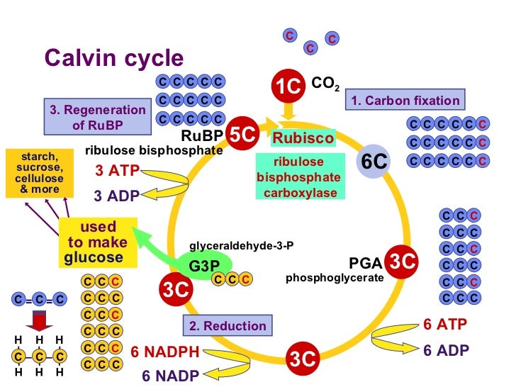 Enzymes Cycle Calvin images