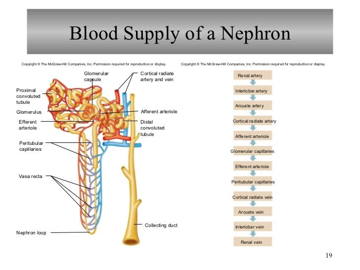 urinary system chapter notes Study 93 chapter 9 - urinary system flashcards from gabriela m on studyblue.