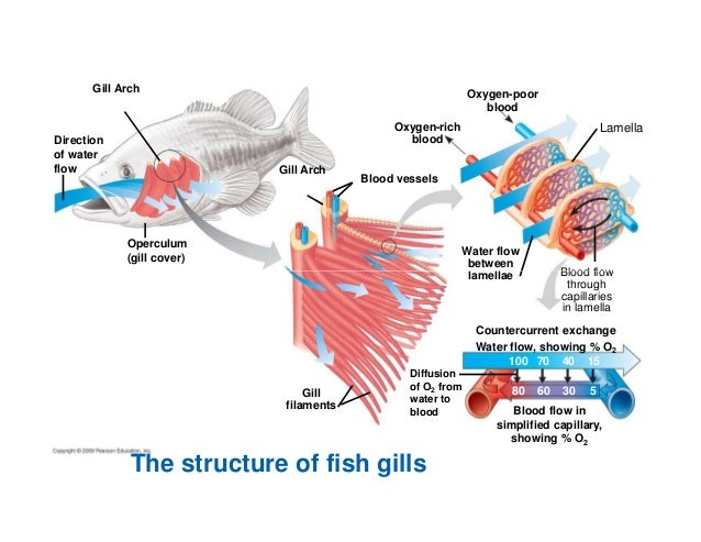 Chapter 22 gas exchange compatibility mode for Arches related to breathing gills in fish