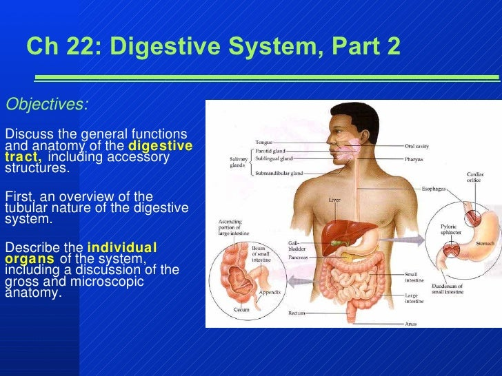 Ch 22: Digestive System, Part 2 Objectives: Discuss the general functions and anatomy of the  digestive tract,  including ...