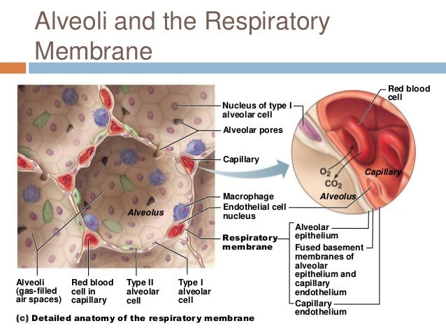 alveoli and capillaries relationship trust