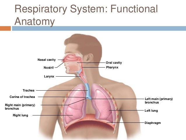 Respiratory Anatomy Carina Bigking Keywords And Pictures