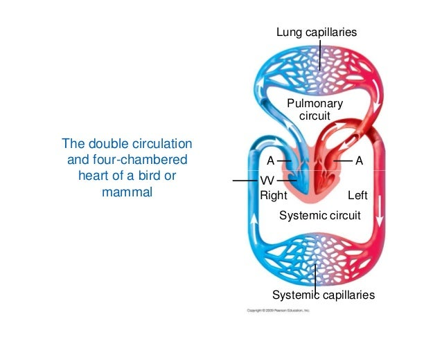 Concept Map likewise Chapter 59 Development Of The Lower Respiratory System The Bronchi And Surrounding Structures in addition Handling The Heat Temperature And Respiration Of Goldfish additionally Natural History also Muscular System. on evolution circulatory system