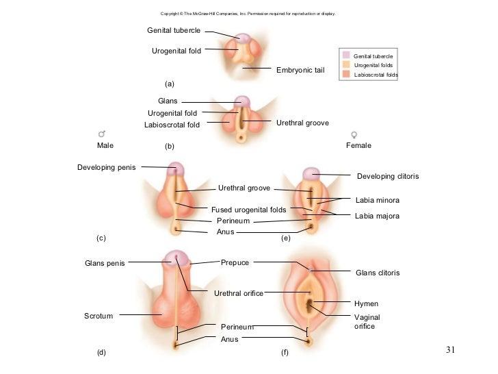 Penis against labia