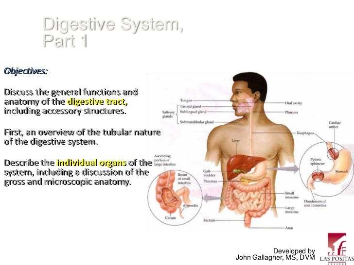 Digestive System,         Part 1Objectives:Discuss the general functions andanatomy of the digestive tract,including acces...