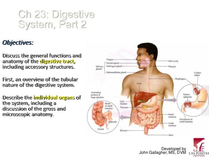 Ch 23: Digestive      System, Part 2Objectives:Discuss the general functions andanatomy of the digestive tract,including a...