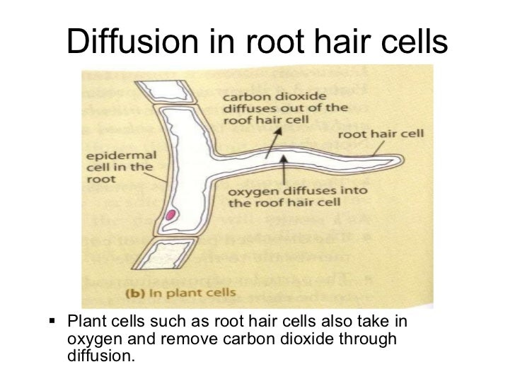 Diagram shows a root hair cell the water can pass through the thin diagram shows a root hair cell the water can pass through the thin ccuart Choice Image