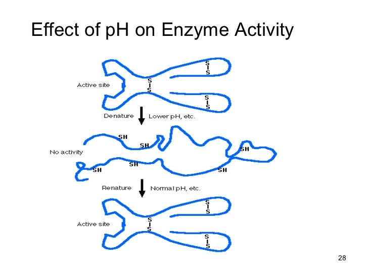 ph effects on catecholase activity Citrate, 04 m, ph 65),  this is probably a ph effect (the ph of acetate buffer is 59  ethyl xanthate were found to inhibit catecholase activity.