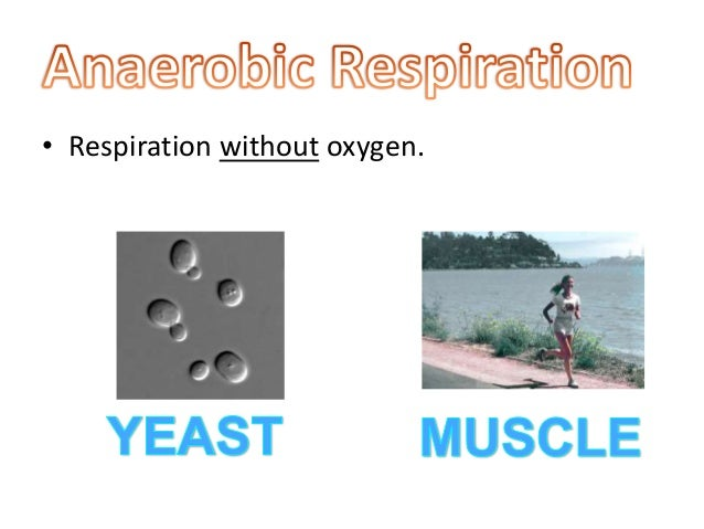 respiration coursework Yeast coursework extracts from this biology coursework: respiration in yeast planning aim the goal of this experiment is to discover how then so will the.