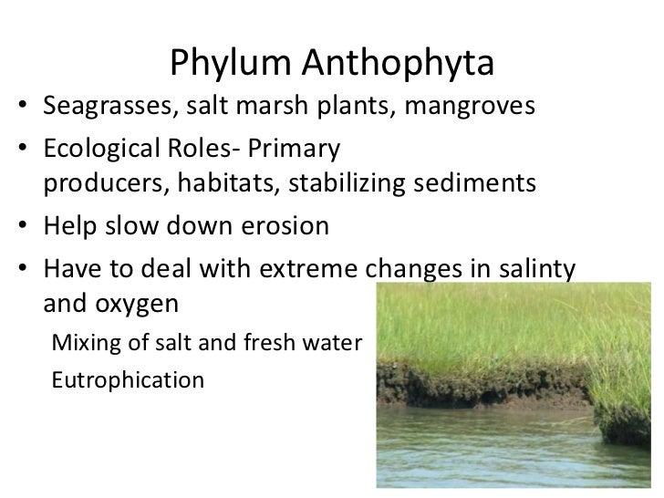 Phylum Anthophyta Environment Phylum Anthophyta Seagrasses
