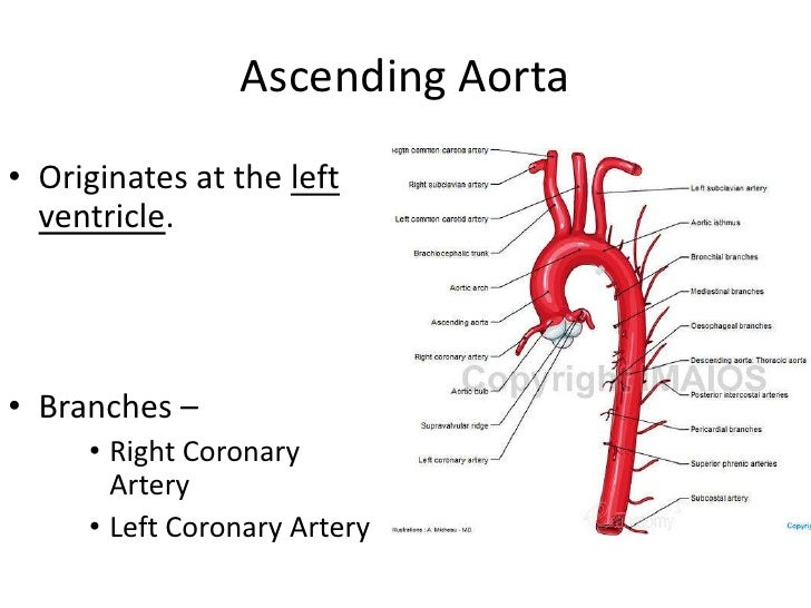 relations of the ascending aorta Relations—the ascending aorta is covered at its commencement by the trunk of the pulmonary artery and the right auricula, and, higher up, is separated from the sternum by the pericardium, the right pleura, the anterior margin of the right lung, some loose areolar tissue,.