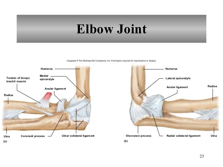Perfect Elbow Joint Ligaments Mold Anatomy And Physiology Biology