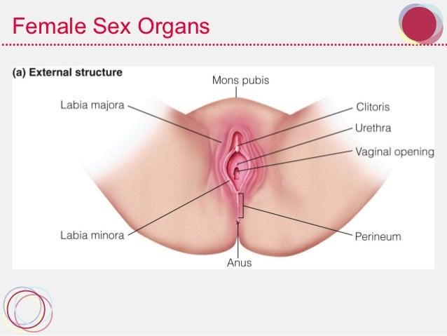 Organs Sexual Womens 116