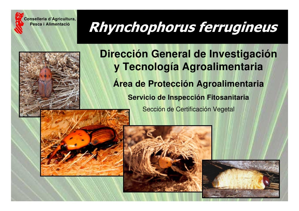Conselleria d'Agricultura,   Pesca i Alimentació                              Rhynchophorus ferrugineus                   ...