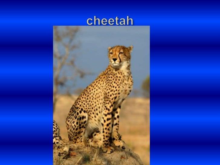 cheetah<br />