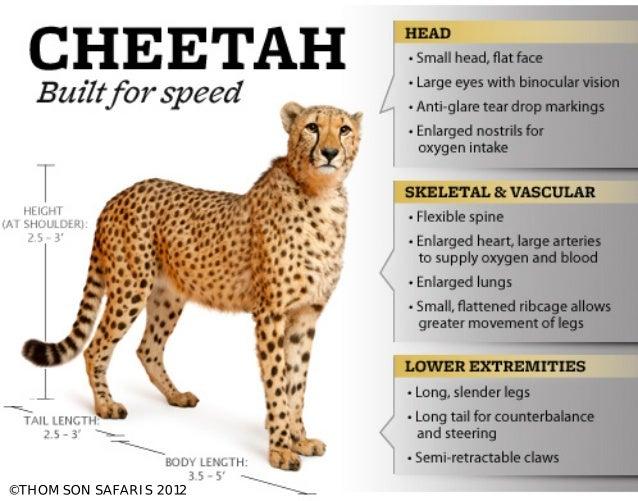 Cheetah: Built for speed