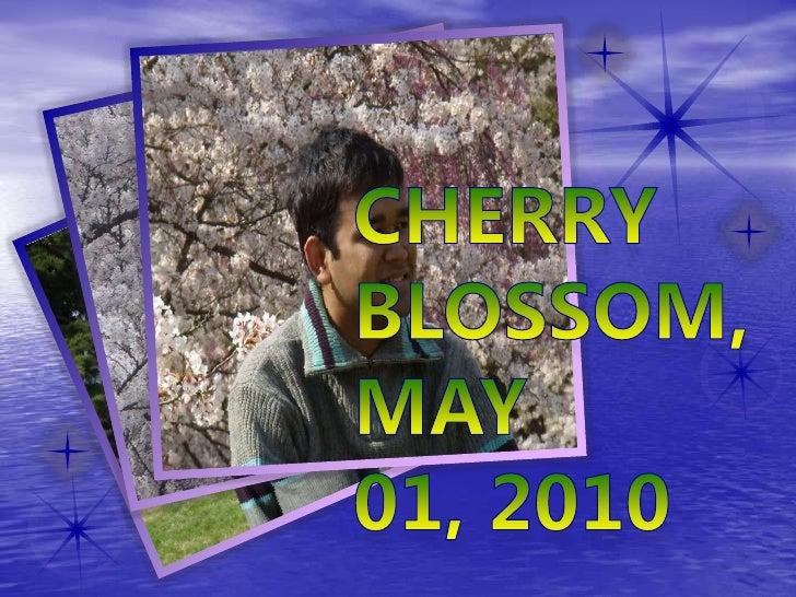 Cherry blossom, may 01, 2010